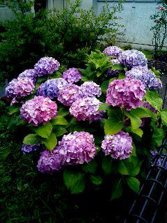 雨の中の紫陽花
