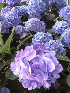 紫陽花好き