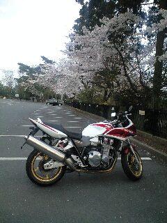 桜咲く道を、、、
