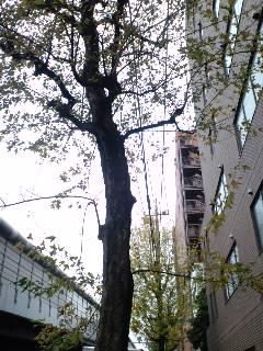 街路樹に集う鳥の声