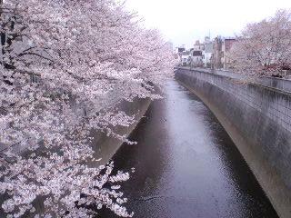 桜が雨に濡れている…