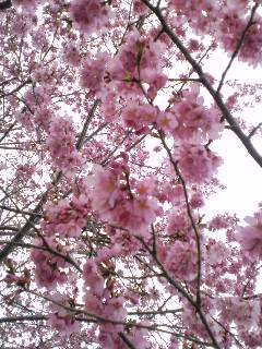 咲く桜はいつか散りますが…、