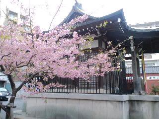 河津桜が咲いていた!