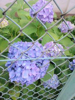 東京で咲く紫陽花